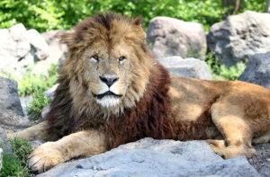 ライオン 富士サファリパーク